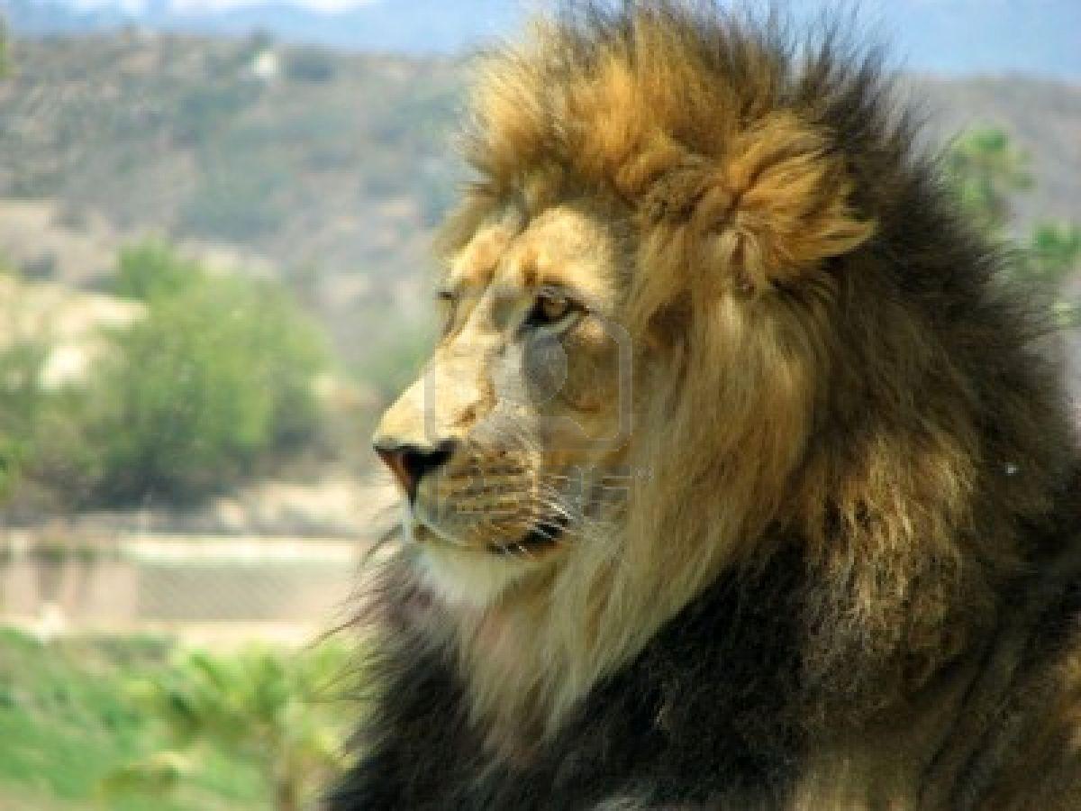 leo-cat-majestic