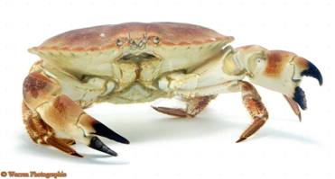 http://www.warrenphotographic.co.uk/photography/bigs/02806-Edible-Crab-white-background.jpg