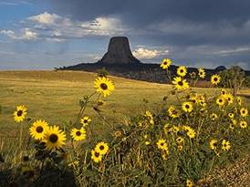 Sunflowers in the Black Hills, facing Devil's Tower