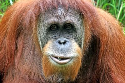 sumatran-orangutan