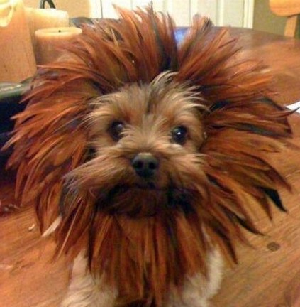Baby-Lion-Dog-Hybrid-resizecrop--