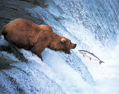 bearsalmon